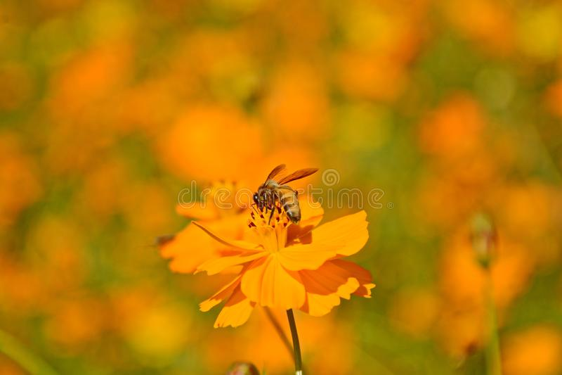 Macro photo of a bee close up, starburst flower summer yellow leaf field background grass flowers nature season garden park.  stock image