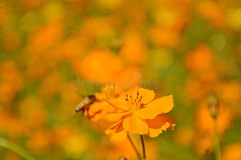 Macro photo of a bee close up, starburst flower summer yellow leaf field background grass flowers nature season garden park.  royalty free stock image