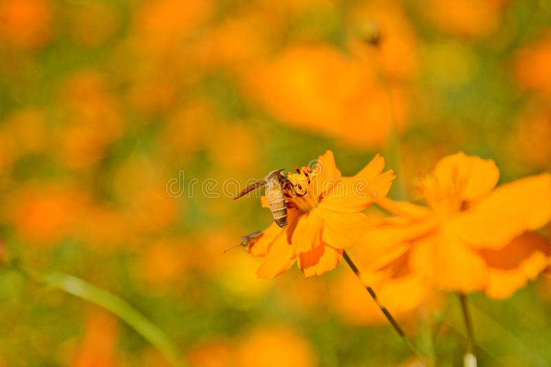 Macro photo of a bee close up, starburst flower summer yellow leaf field background grass flowers nature season garden park.  royalty free stock photography