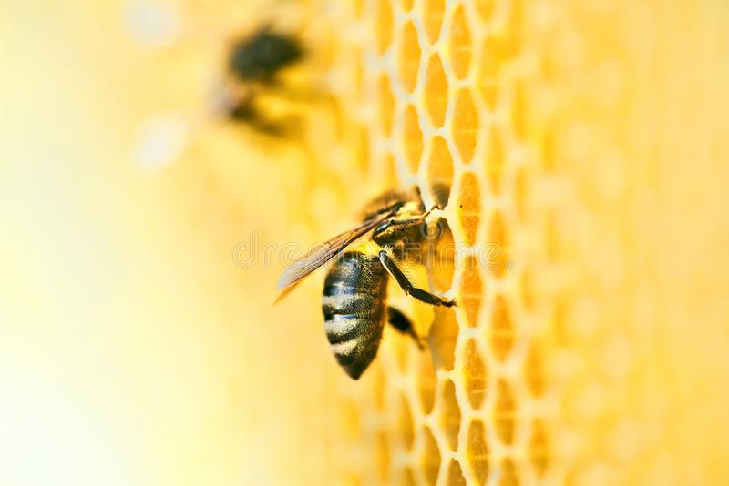 Macro photo of a bee hive on a honeycomb with copyspace. Bees produce fresh, healthy, honey. royalty free stock photo