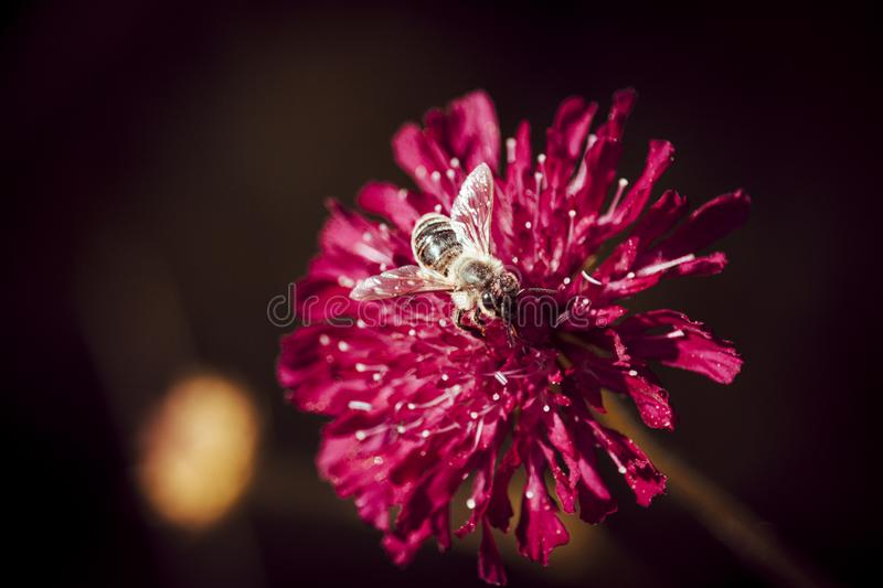 Macro Photo Of Bee Perched On Pink Flower royalty free stock photos