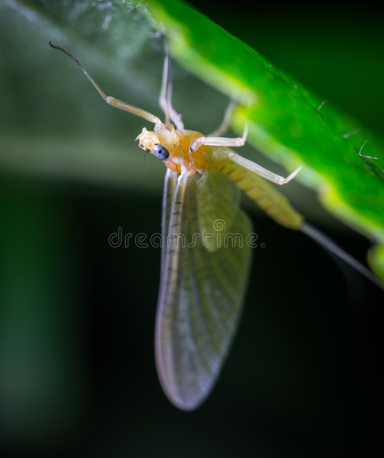 Macro Photo of a Beige Mayfly on Green Leaf stock images