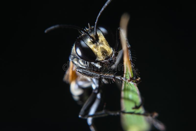 A macro photo of the black bee insect on the green leaf with isolated black background royalty free stock photography