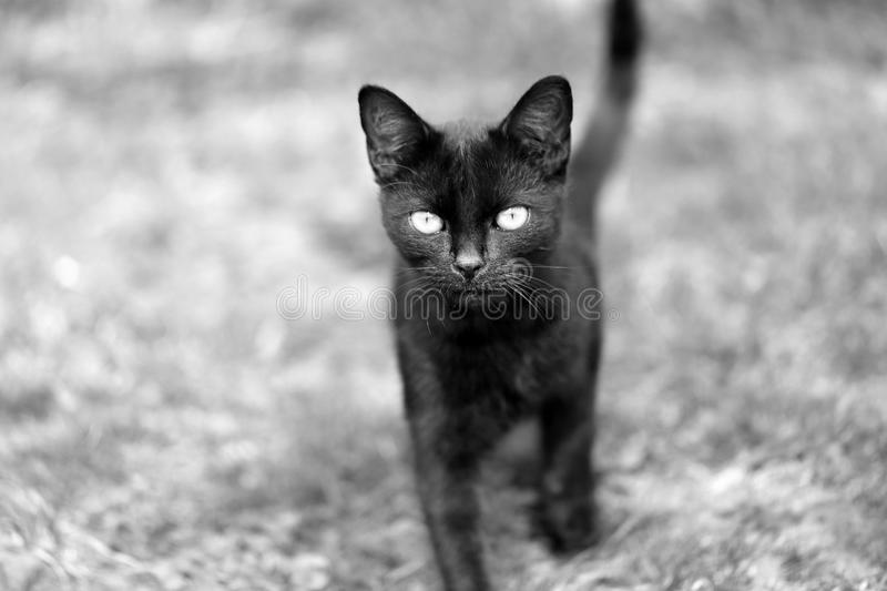 Macro photo of a black kitten looking at you royalty free stock photography