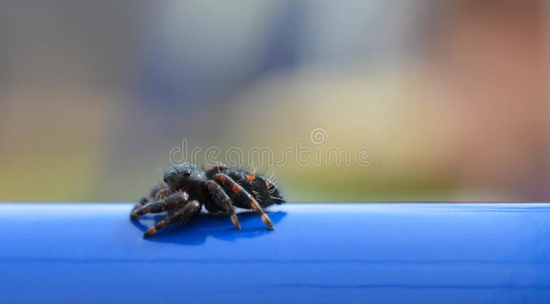 Macro photo of a black and red bold jumping spider on a blue pole royalty free stock photo