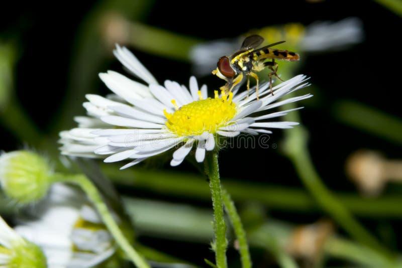 Hoverfly on white daisy fleabane flower closeup royalty free stock photo