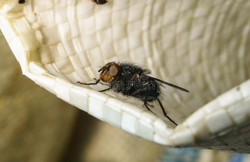 A macro photo of a Blue-bottle fly royalty free stock photo