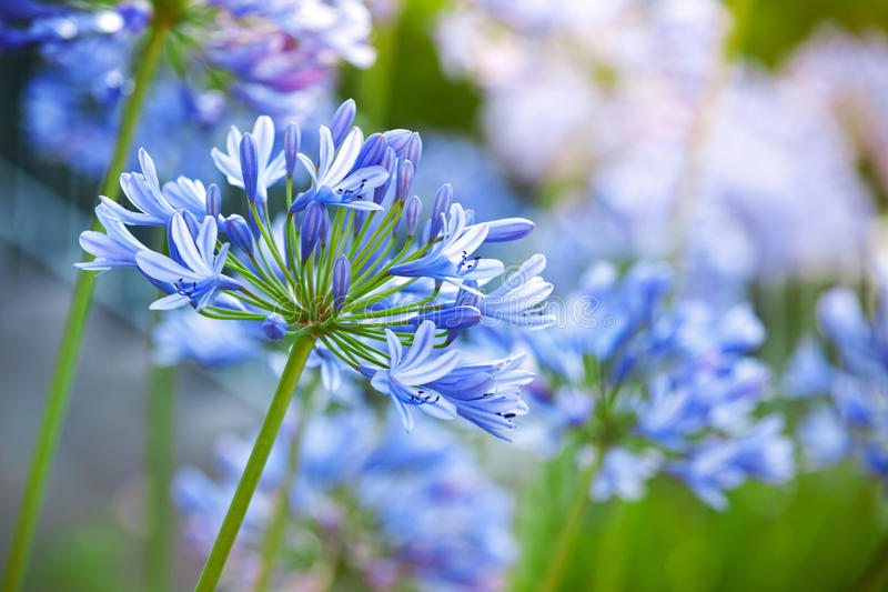 Macro photo of bright blue Agapanthus flowers. In the garden stock photography