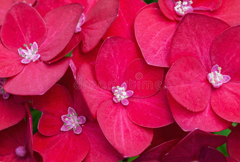 Macro Photo Of Bright Red Hydrangea Royalty Free Stock Images
