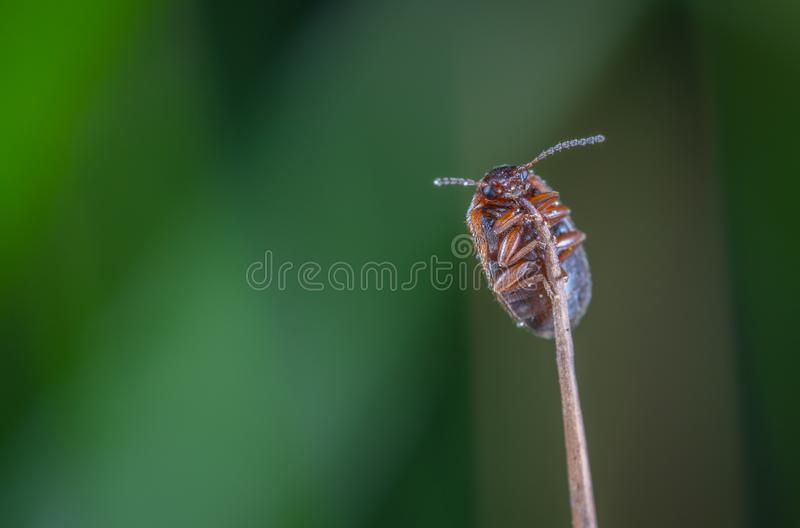 Macro Photo of Brown Beetle on Brown Stem royalty free stock images