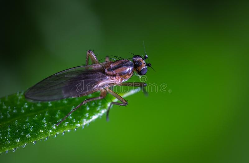 Macro Photo of a Brown and Black Fly on Green Leaf royalty free stock photography