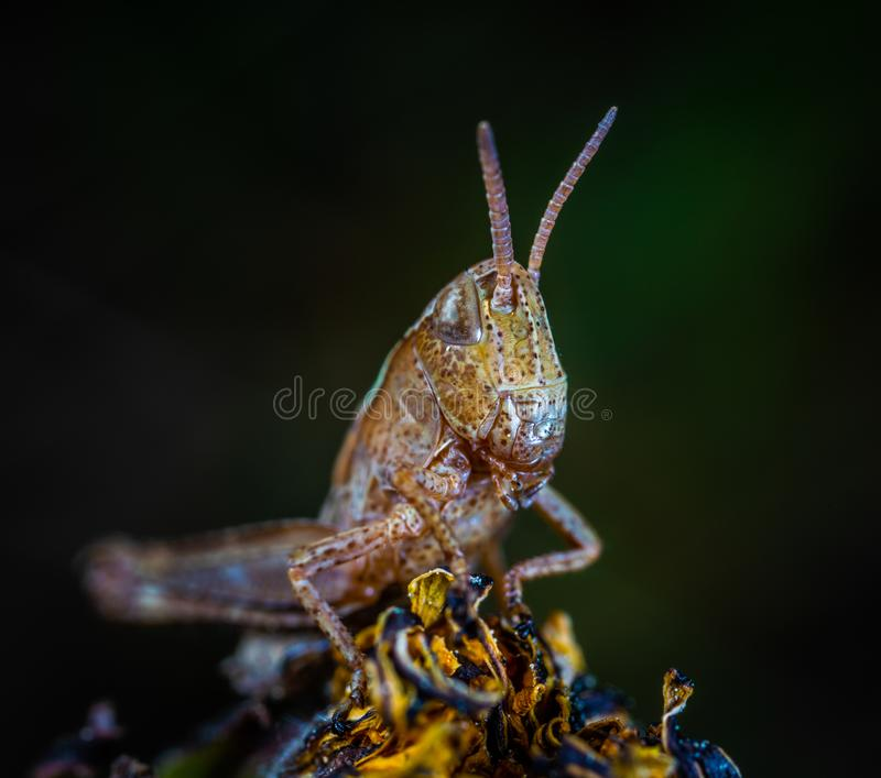 Macro Photo of Brown Grasshopper royalty free stock photography