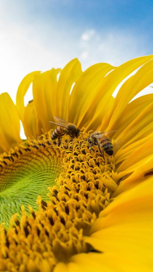 Macro Photo of Bumblebees on Yellow Sunflower royalty free stock photo