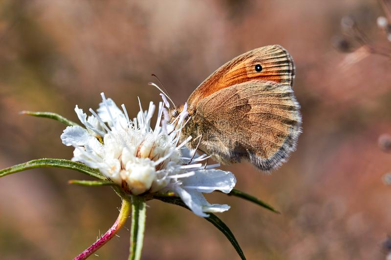 Macro photo of a butterfly close-up. A butterfly sits on a flower. The moth sits on a flower and drinks nectar. A photo of a moth. In the grass close up royalty free stock photos