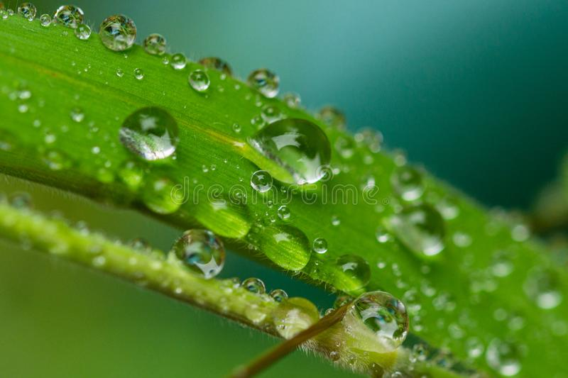 A macro photo of a clear drop of fresh water on a single blade of vibrant green grass stock image