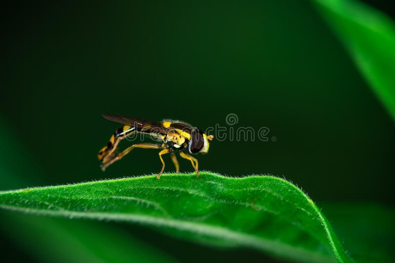 Hoverflies sits on a leaf, Syrphidae. Macro photo, close-up, Hoverflies sits on a leaf, Syrphidae, Arthropoda, Insecta, Diptera stock photography