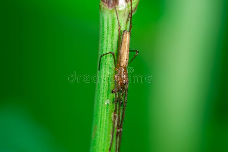 Cellar spiders on a plant, macro photo, close-up. Macro photo, close up, insect, spider, Opiliones, Phalangiidae, Arthropoda, Cellar spiders waiting to attack stock images