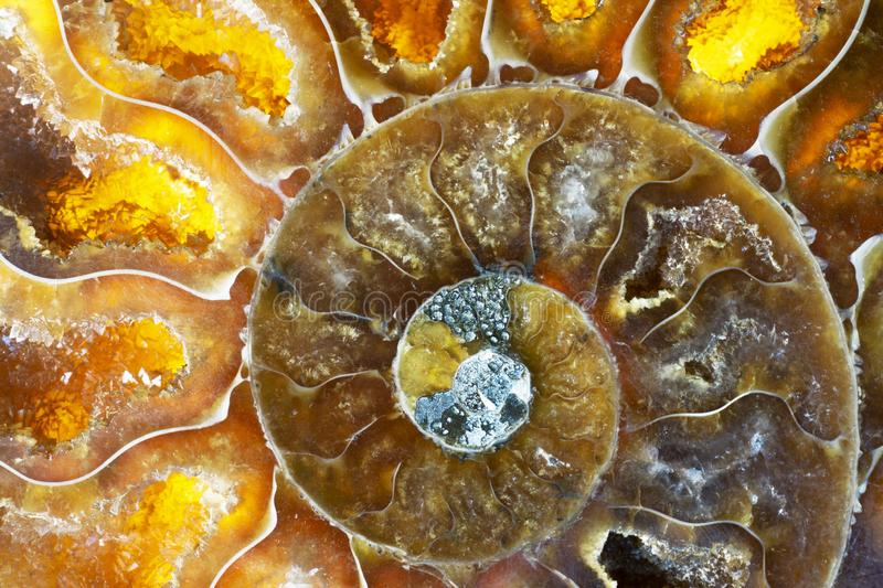 Macro Photo of a Colorful Ammonite Sea Shell Fossil royalty free stock photo