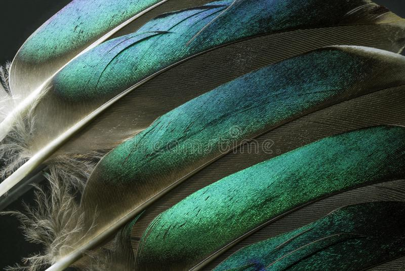 Macro photo of Colorful Green Duck Feathers. This is a macro photo of a Native American Indian costume with detail of the colorful duck feathers. I used special stock image
