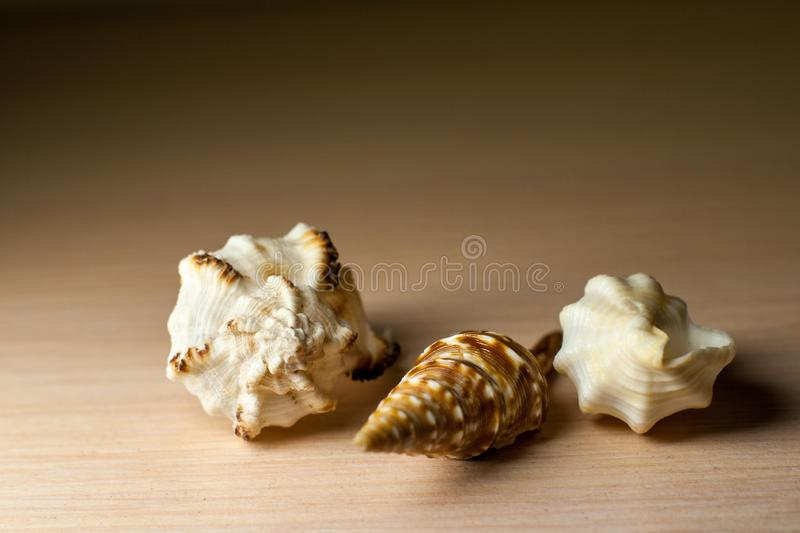 Macro photo of colorful seashells. Three brown and white sea mollusk shells on a light grey table. Exotic and beautiful souvenirs royalty free stock images