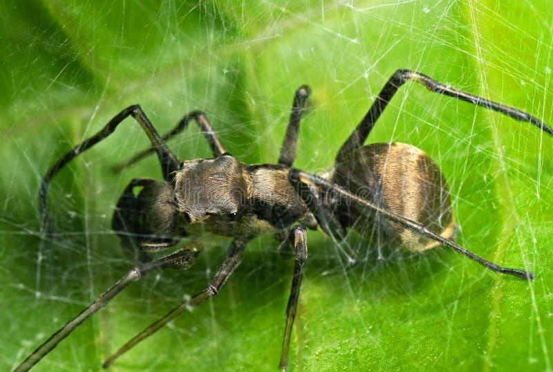 Macro photo d'Ant Mimic Jumping Spider en Web sur la feuille verte images stock