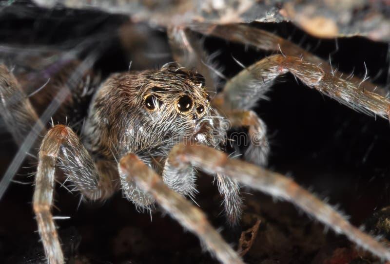 Macro photo d'araignée de Little Brown d'isolement sur le fond photo stock