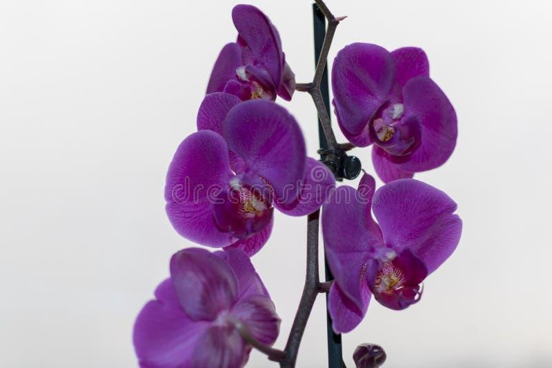 Macro photo d'orchidée pourpre photos stock
