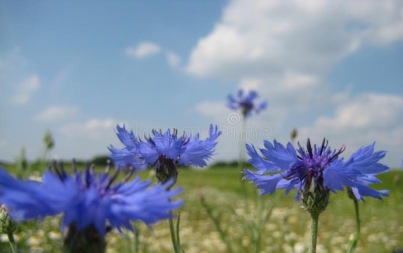 Macro photo d'un bleuet de gisement de fleur sur un fond de bleu merveilleux images stock