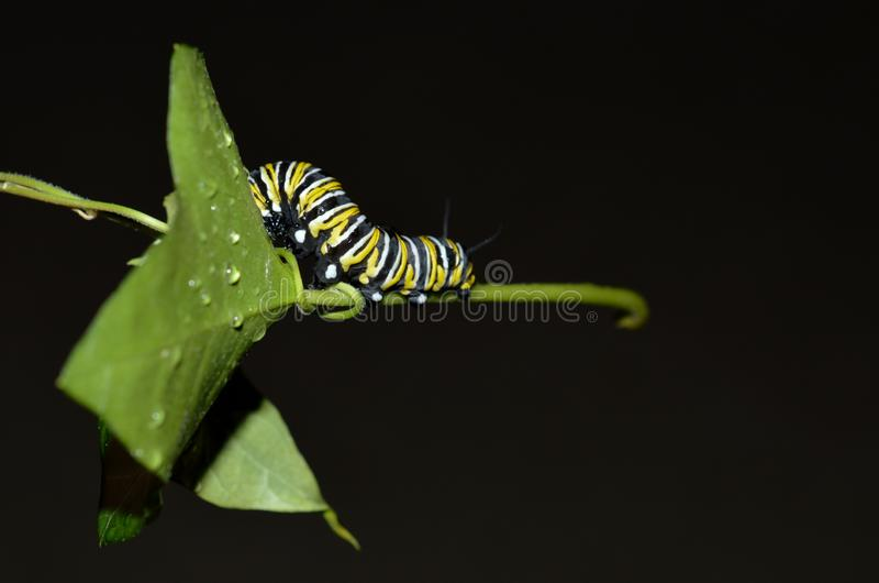 Macro photo d'une chenille de monarque dehors sur une feuille verte par jour pluvieux photos stock