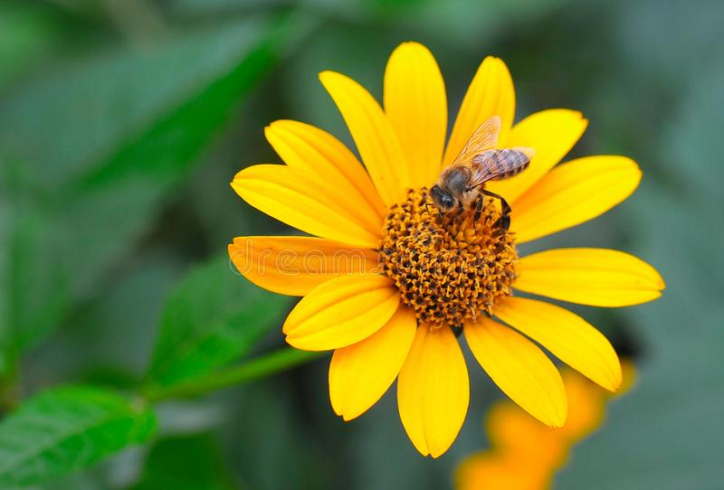 Macro photo d'une fleur rose de Rudbeckia L'abeille est sur une belle, jaune fleur images libres de droits
