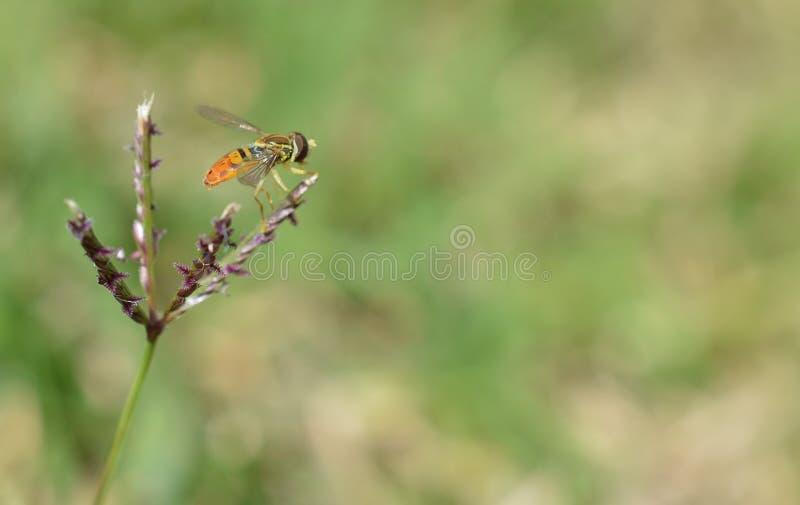 Macro photo d'une mouche orange et noire de fleur sur une mauvaise herbe photos libres de droits