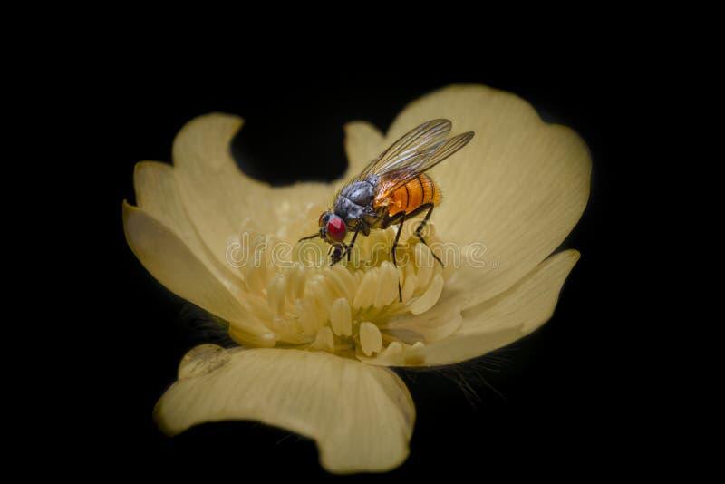 Macro photo d'une mouche sur une fleur jaune images libres de droits