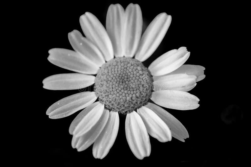 Macro photo of daisy. Black and white stock photography