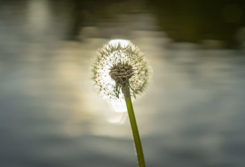 Macro photo of dandelion head on water background. Sun flare. royalty free stock photo
