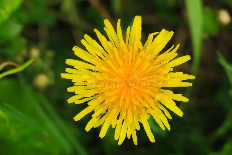 Macro Photo of a dandelion plant. Dandelion plant with a fluffy yellow bud. Yellow dandelion flower growing in the ground stock photos