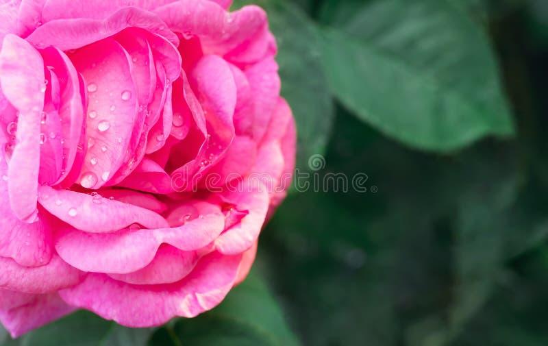 Macro photo de belle rose rose avec des baisses de l'eau Fleur de bourgeon sur une branche avec un fond vert image libre de droits