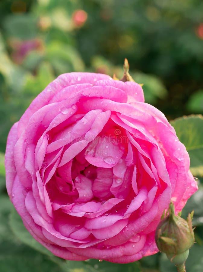 Macro photo de belle rose rose avec des baisses de l'eau Fleur de bourgeon sur une branche avec un fond vert images stock