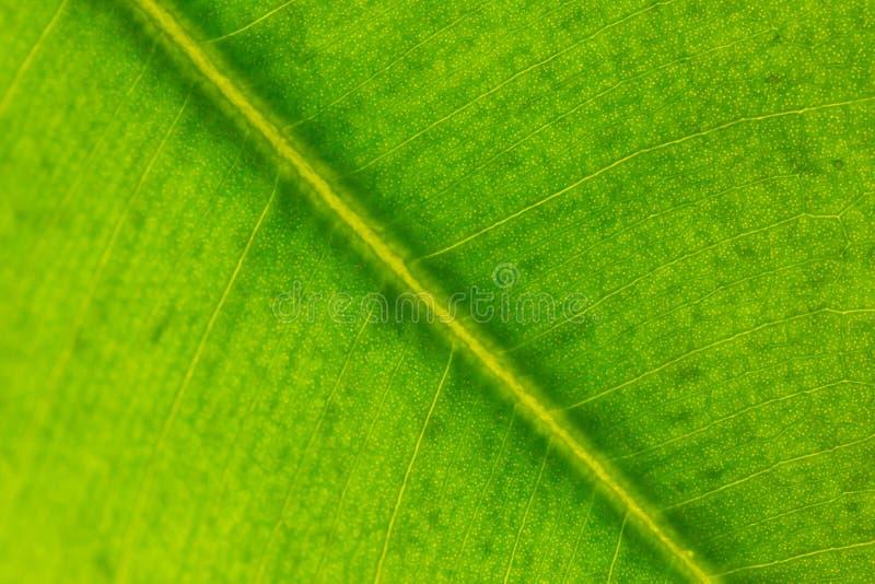 Macro photo de feuille verte photographie stock libre de droits