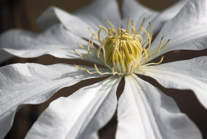 Macro photo de fleur d'armandii de clématite photos stock