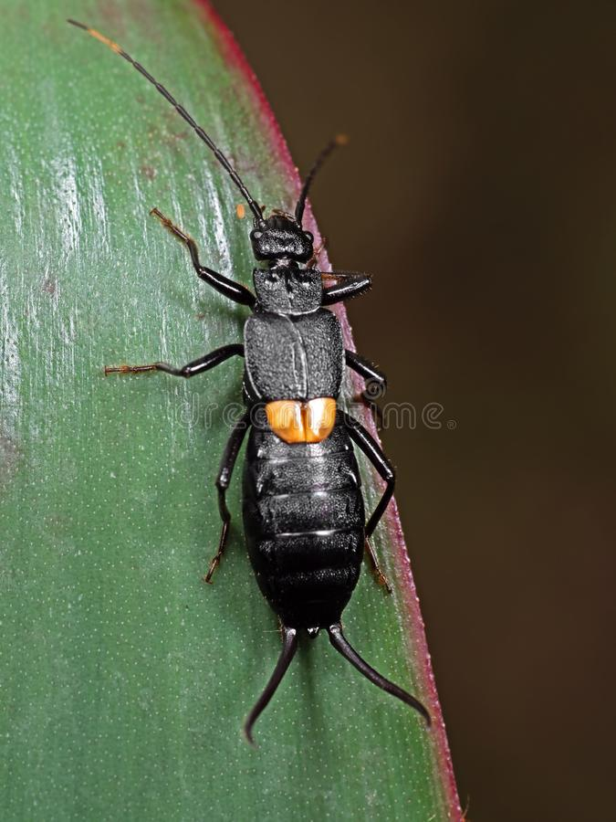 Macro photo de forficule étrange d'insecte sur la feuille verte photographie stock