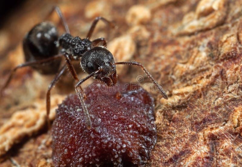 Macro photo de fourmi noire de jardin avec l'insecte d'échelle sur l'écorce d'arbre photographie stock