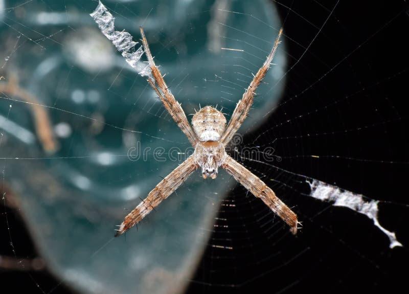 Macro photo de l'araignée croisée de St Andrew sur le Web d'isolement sur le fond image stock