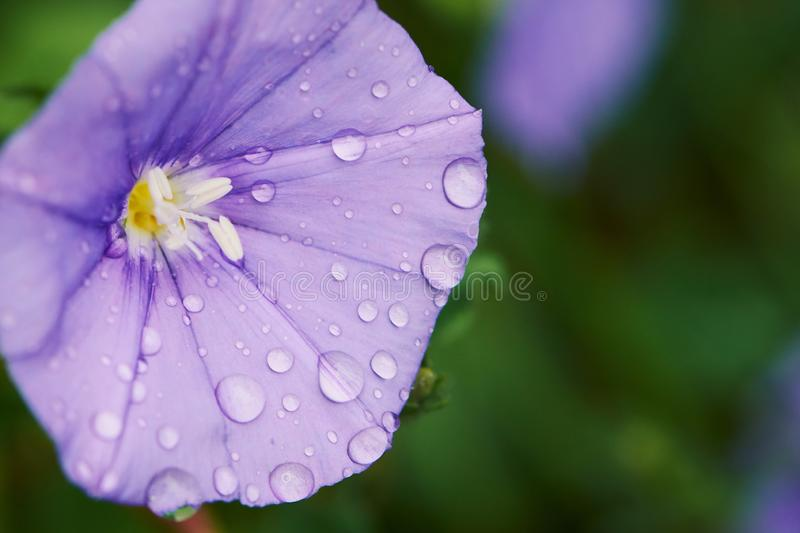 Macro photo de la fleur moulue de gloire de matin images stock