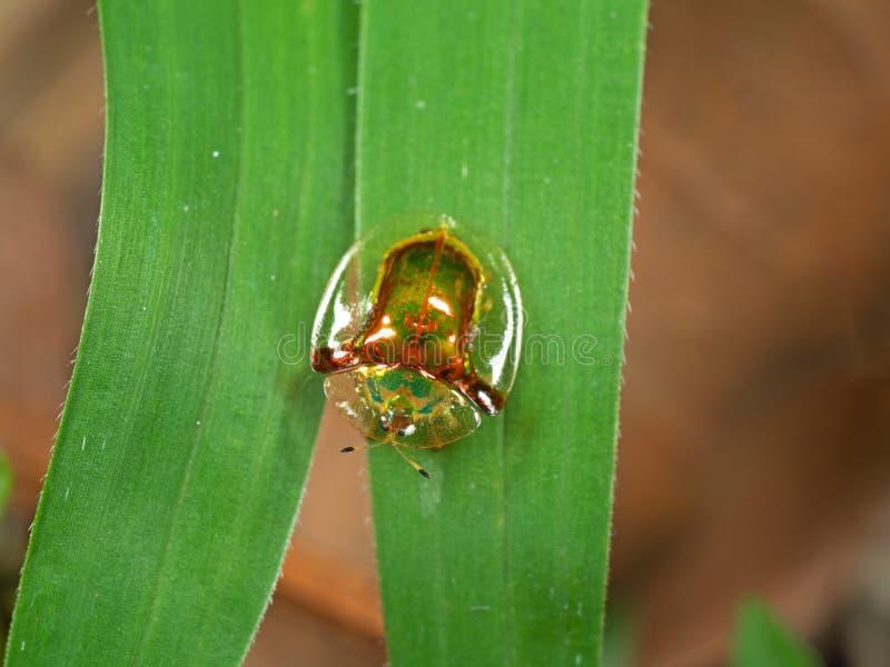 Macro photo de scarabée d'or de tortue sur la lame de l'herbe photo stock