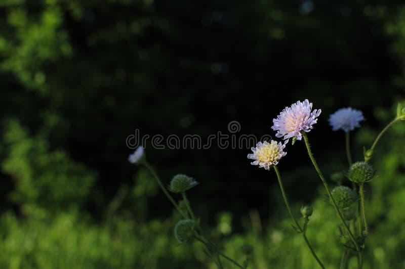 Macro photo de trèfle rouge de fleur d'usine de nature Texture de fond d'un trèfle de floraison de fleur sauvage Image de fleur r photo libre de droits