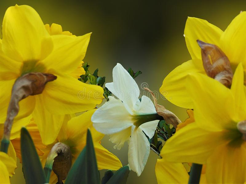 Macro photo with a decorative background of beautiful large spring download macro photo with a decorative background of beautiful large spring flowers narcisse stock photo mightylinksfo