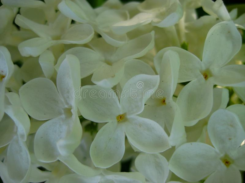 Macro photo with decorative background of beautiful white flowers of lilac tree branch during stock photos