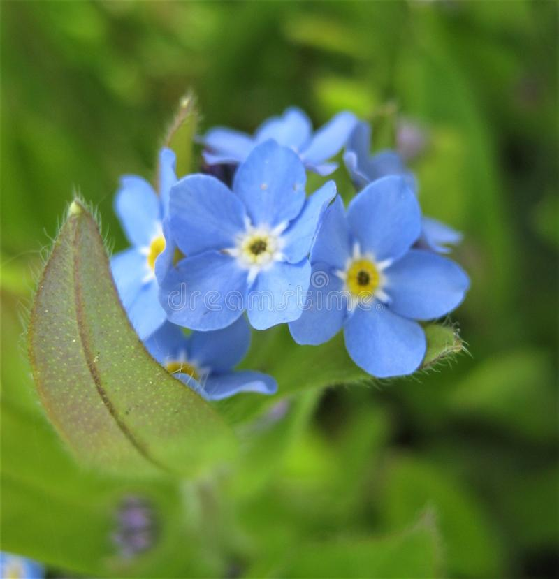 Macro photo with decorative background texture of beautiful delicate flowers Myosótis or forget-me-not. With blue petals and green leaves as a source for stock photos