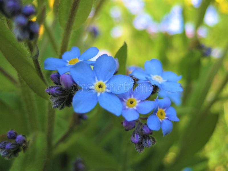 Macro photo with decorative background texture of beautiful delicate flowers Myosótis or forget-me-not. With blue petals and green leaves as a source for royalty free stock photos