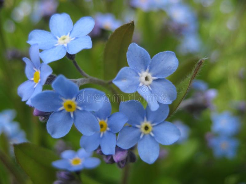 Macro photo with decorative background texture of beautiful delicate flowers Myosótis or forget-me-not. With blue petals and green leaves as a source for stock photography